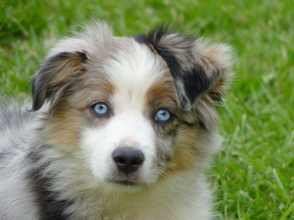mini chien berger australien - Recherche Google | berger