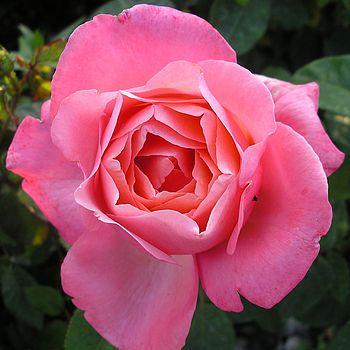 Wedding Plant Gifts Rose Wedding Bells