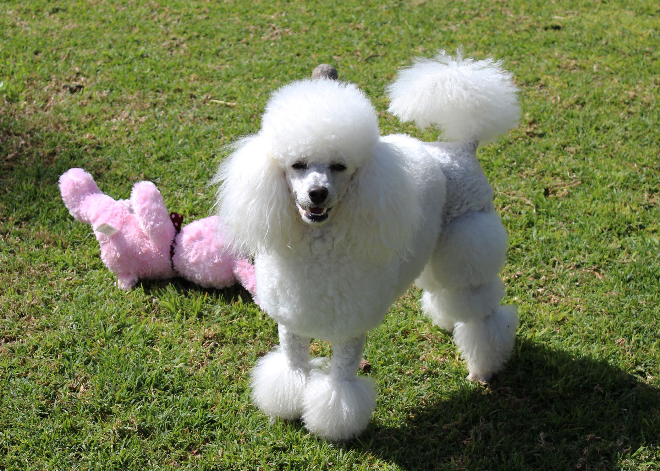 Miniature white poodle gucci million dollar man my
