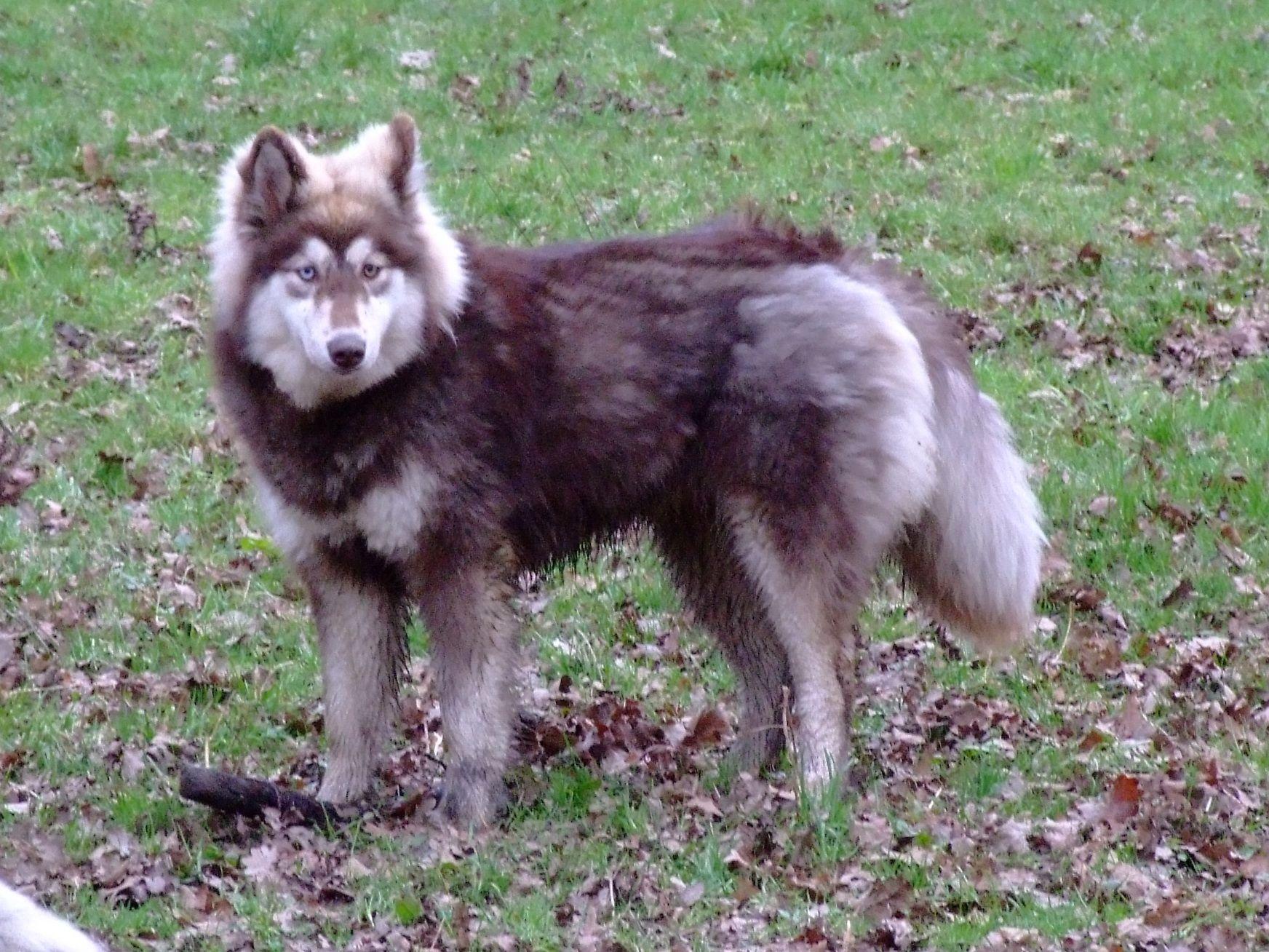 Siberian+Husky+Rottweiler+Mix husky fell eigenwillig