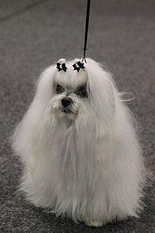 Maltese Dog Wikipedia The Free Encyclopedia Maltese Dogs
