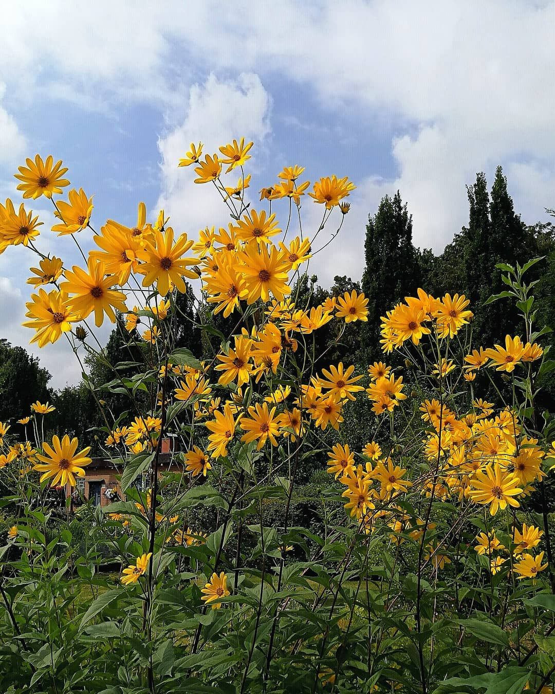Topinambur Topinambur Blutenmontag Garten Knollen Kleingarten Blumenbild Photography Blumenfotografie Garten Blumen Fotografie Blumenbilder
