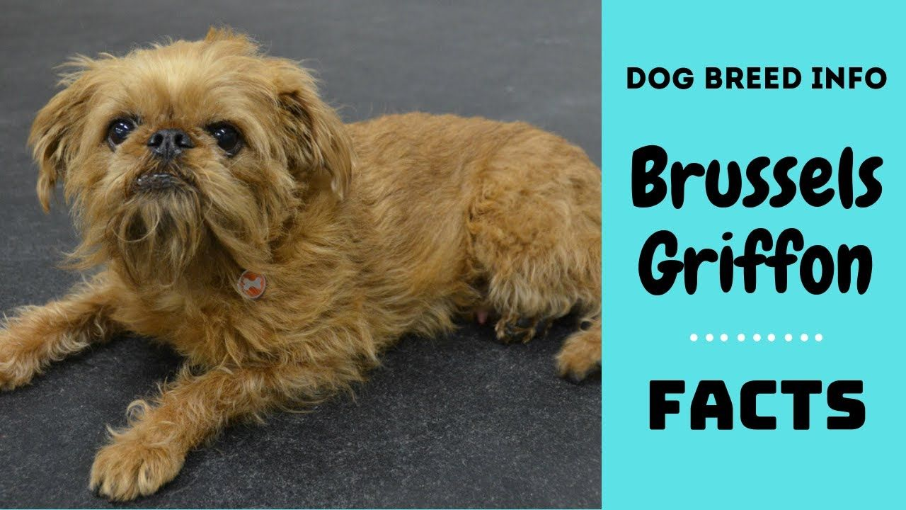 Brussels Griffon Dog Breed All Breed Characteristics And Facts