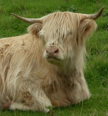 Highland Cow Miniature Cow Breeds Cattle Mini Cows
