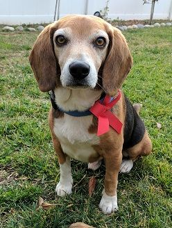 Beagle Dog For Adoption In Apple Valley Ca Adn 461994 On