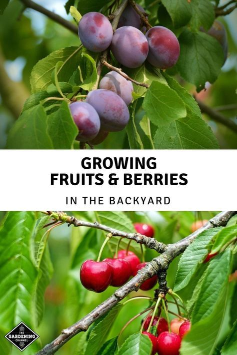 Growing Fruits and Berries in the Backyard is part of Organic vegetable garden, Home vegetable garden, Growing fruit, Organic gardening tips, Garden soil, Gardening for beginners - It requires less space than most people think to grow fruit in your own back yard  Or even front yard, for that matter  Most fruitbearing plants and trees are also decorative and look good as part of a landscape  If you're trying to homestead or become selfsufficient in suburbia, but your local zoning laws don't allow gardening in the front yard, then try planting fruit trees and bushes there instead