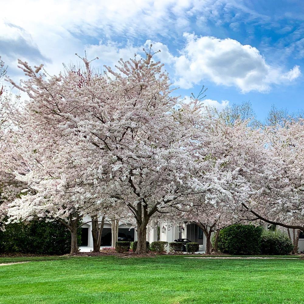 Yoshino Cherry Tree Yoshino Cherry Tree Fast Growing Shade Trees Yoshino Cherry