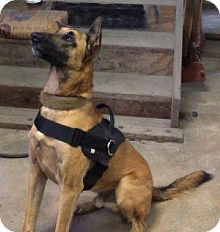 Tampa Fl Belgian Malinois Meet Hurley A Dog For Adoption