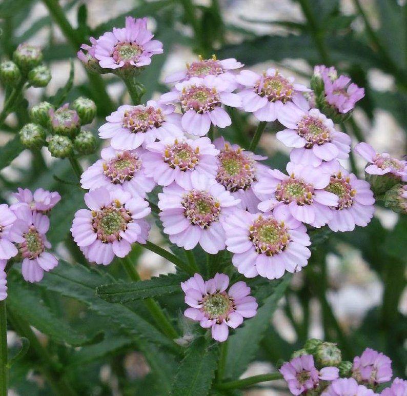 LOVE PARADE Yarrow Easy to Grow Achillea Seeds 50 Seeds Perennial