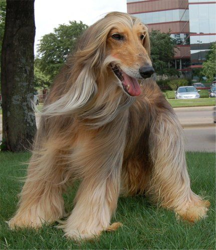 Tall And Long Haired Afghan Hound Puppies Dog Breed Information