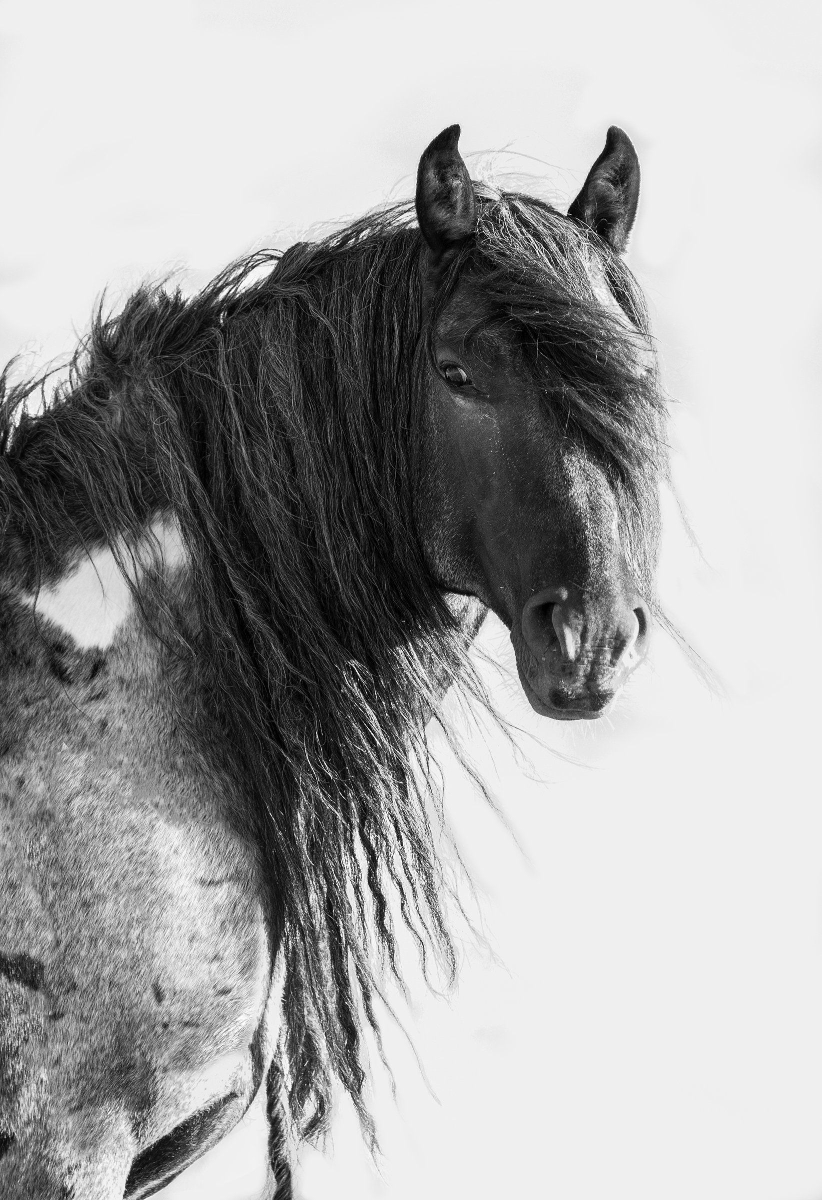 Black & White Photograph - A stunning wild blue roan stallion looks while standing still for a moment in the Red Desert Complex in Wyoming. Ships in a tube.