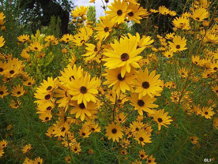Black eyed susan flowers planting sunflowers deer