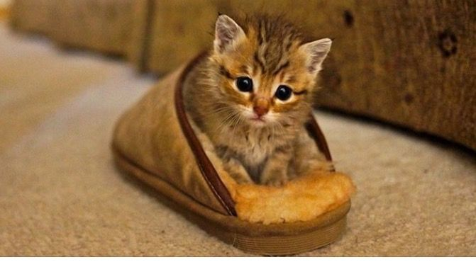 Cute Kitten In A Shoe Cute Animals Kittens Cutest Cute Cats