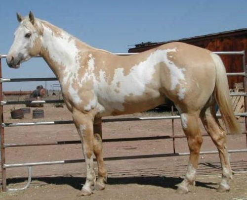 Palomino Horse Images Palomino Paint Horse Palomino