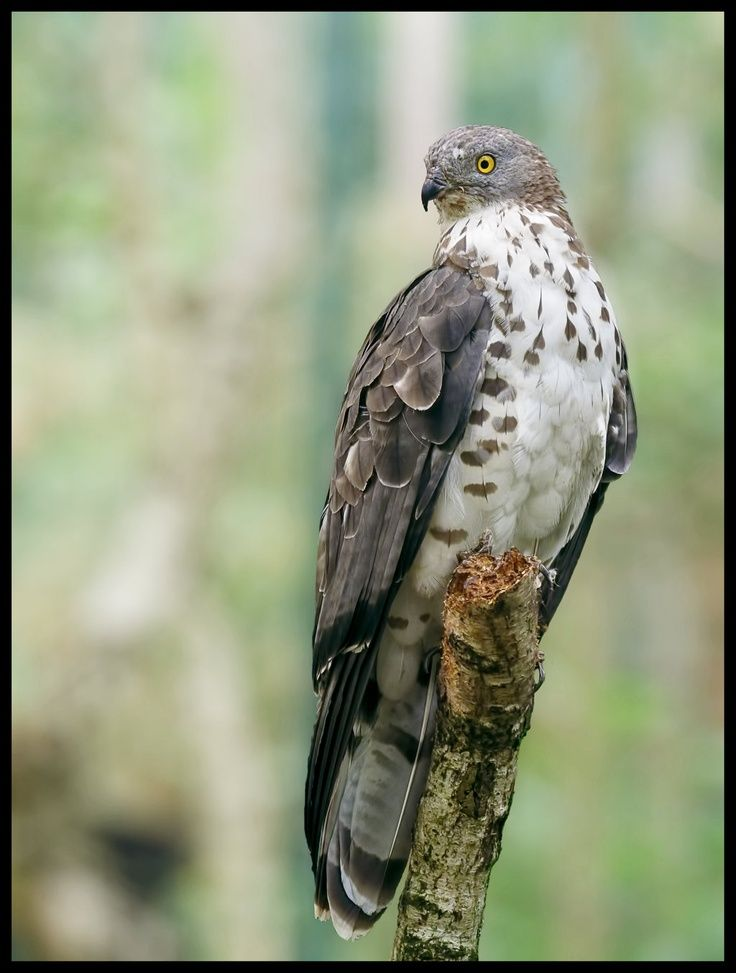 European Honey Buzzard (Pernis apivorus), also known as the Pern or Common Pern, is a bird of prey in the family Accipitridae. Despite its English name, this species is more closely related to kites of the genera Leptodon and Chondrohierax than to true buzzards in Buteo.