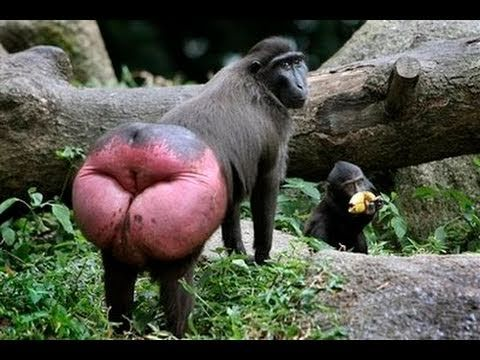 Blue Butt Baboon