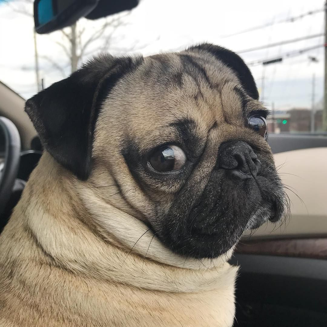 The Pug Is A Breed Of Dog With Physically Distinctive Features