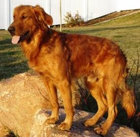 Field Golden Retriever Google Search Golden Retriever