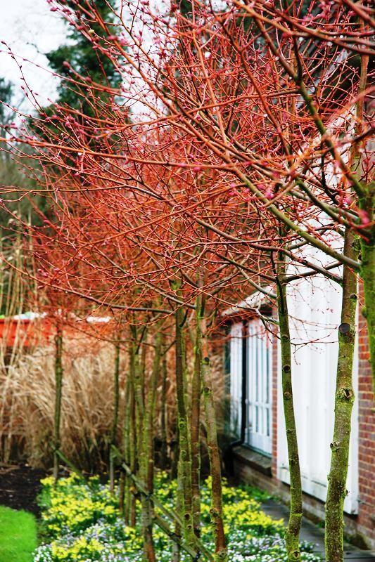 Small Leaved Lime Winter Orange Little Leaved Linden Winter Orange Shade Trees Buy Trees Online Tree