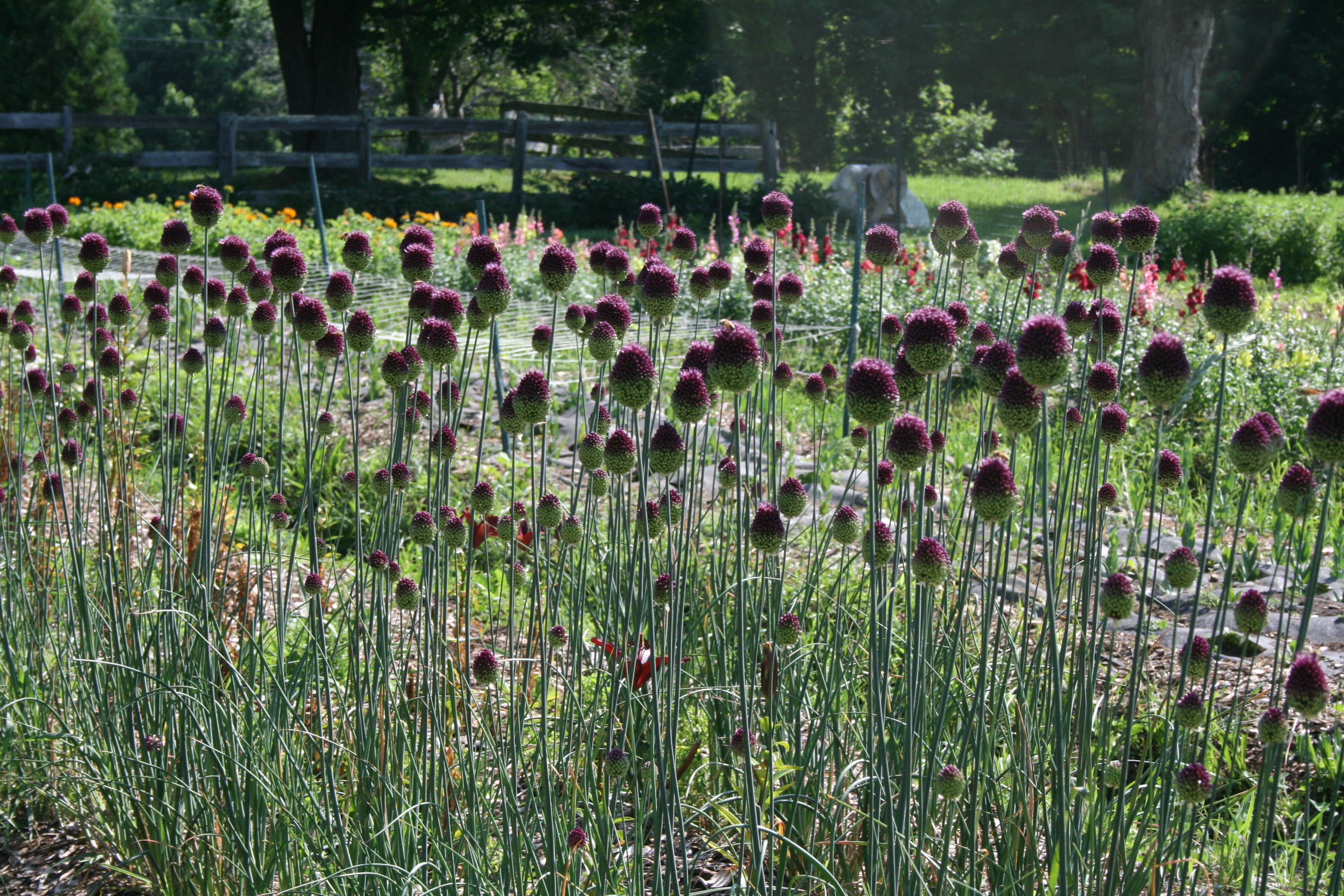 Drumstick Allium Tall Large Medium And Small Flower Heads 7 50 Bunch Small Flowers Flower Farm Flowers