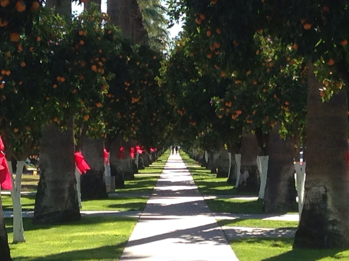 Citrus trees in bloom during the holidays in old