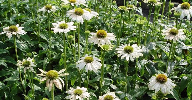 Image Result For Echinacea Powwow White Pow Wow Daisy Bellis Perennis Daisies