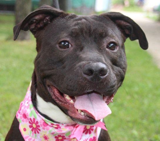 Ariel Aka Leama A1079805 Dog Adoption Animals Pitbull Mix