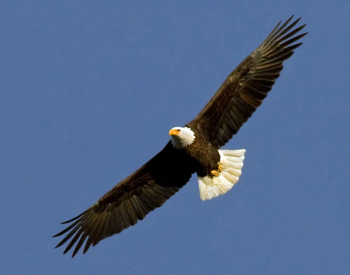 bald eagle pictures   Bald Eagle (Haliaeetus leucocephalus) photo