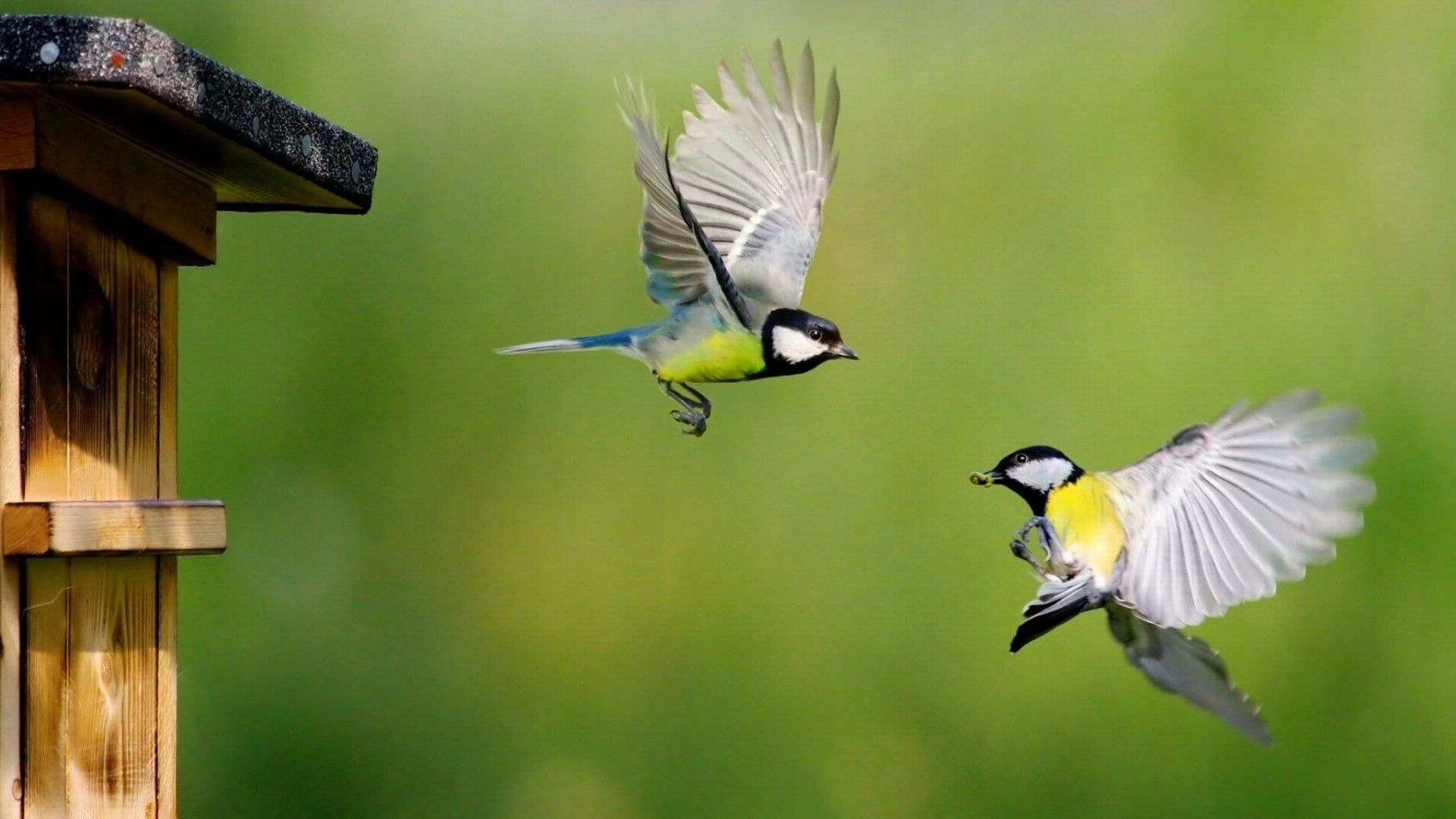 Bluetit Cute Birds Wallpaper for desktop and mobile in