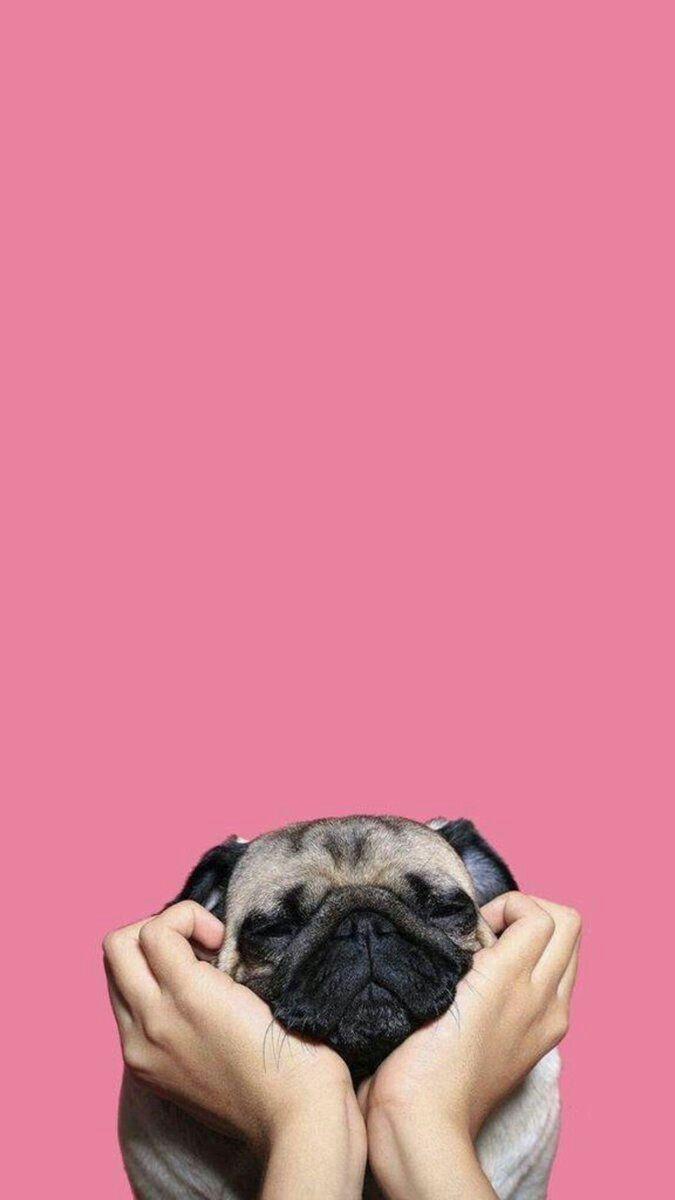 Pin By Kitty Zhang On Wallpaper Pug Wallpaper Dog Wallpaper Dog Lockscreen