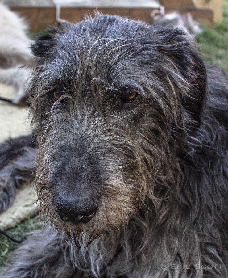 Irish Wolfhound By Eric Scott Perro Crestado Rodesiano Perros