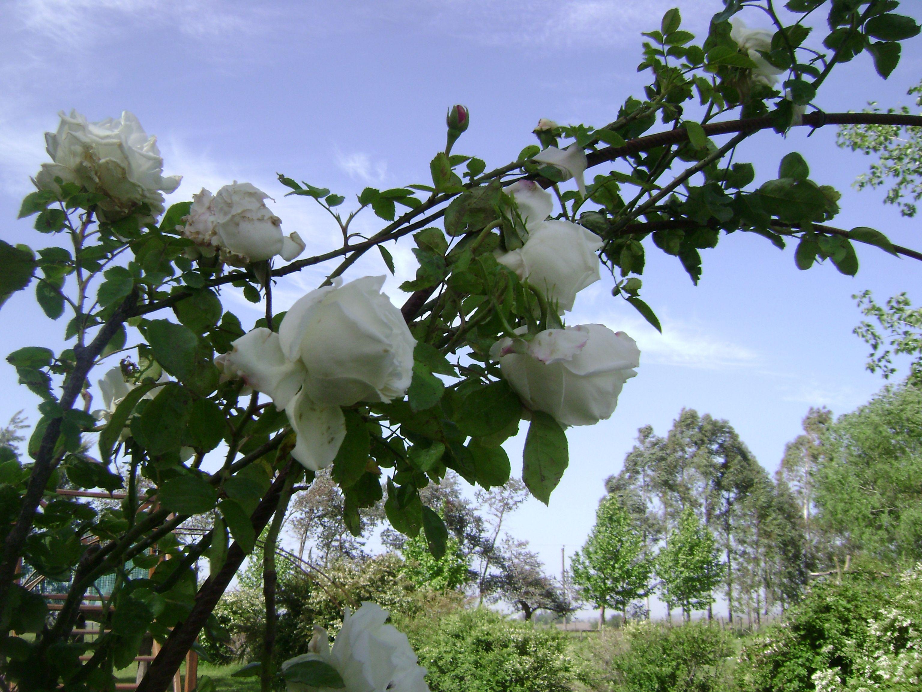 21+ Enredadera de flores blancas ideas