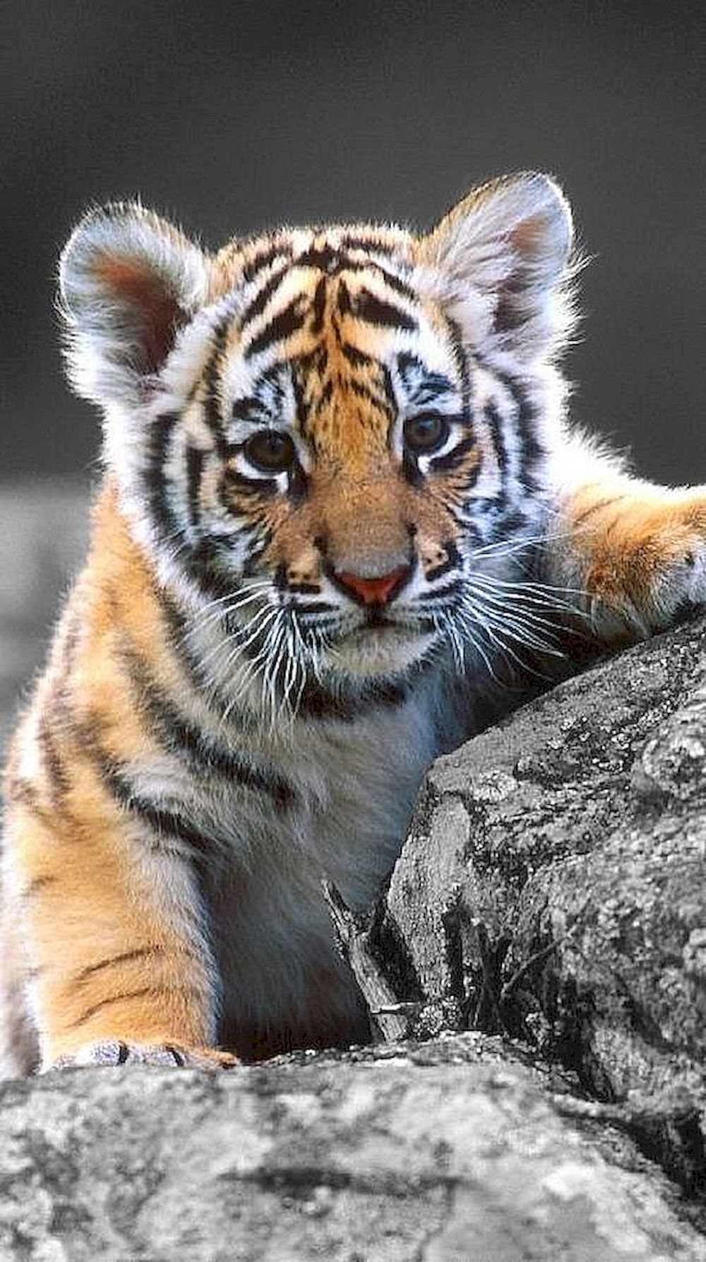 Image result for baby tigers