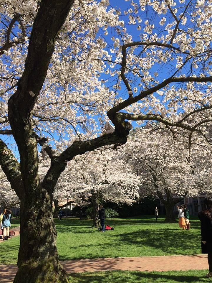 Uw Cherry Blossoms Spring 2014 Photo By Meenakshi Kushwaha Cherry Blossom Blossom Tree