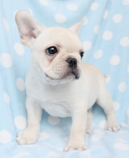 French Bulldog Puppies French Bulldog Puppies South Florida