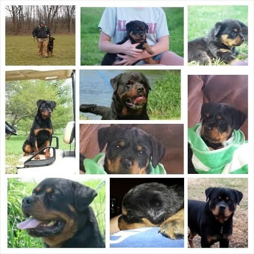 German Rottweiler Puppies For Sale German Rottweilers