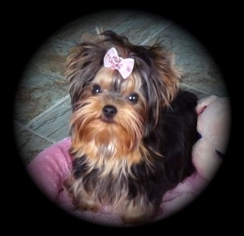 Thundering Hill Yorkies For Sale Baby Doll Yorkies For Sale In British Columbia Canada Teacup Yorkies B Yorkie Puppy For Sale Teacup Yorkie For Sale Yorkie