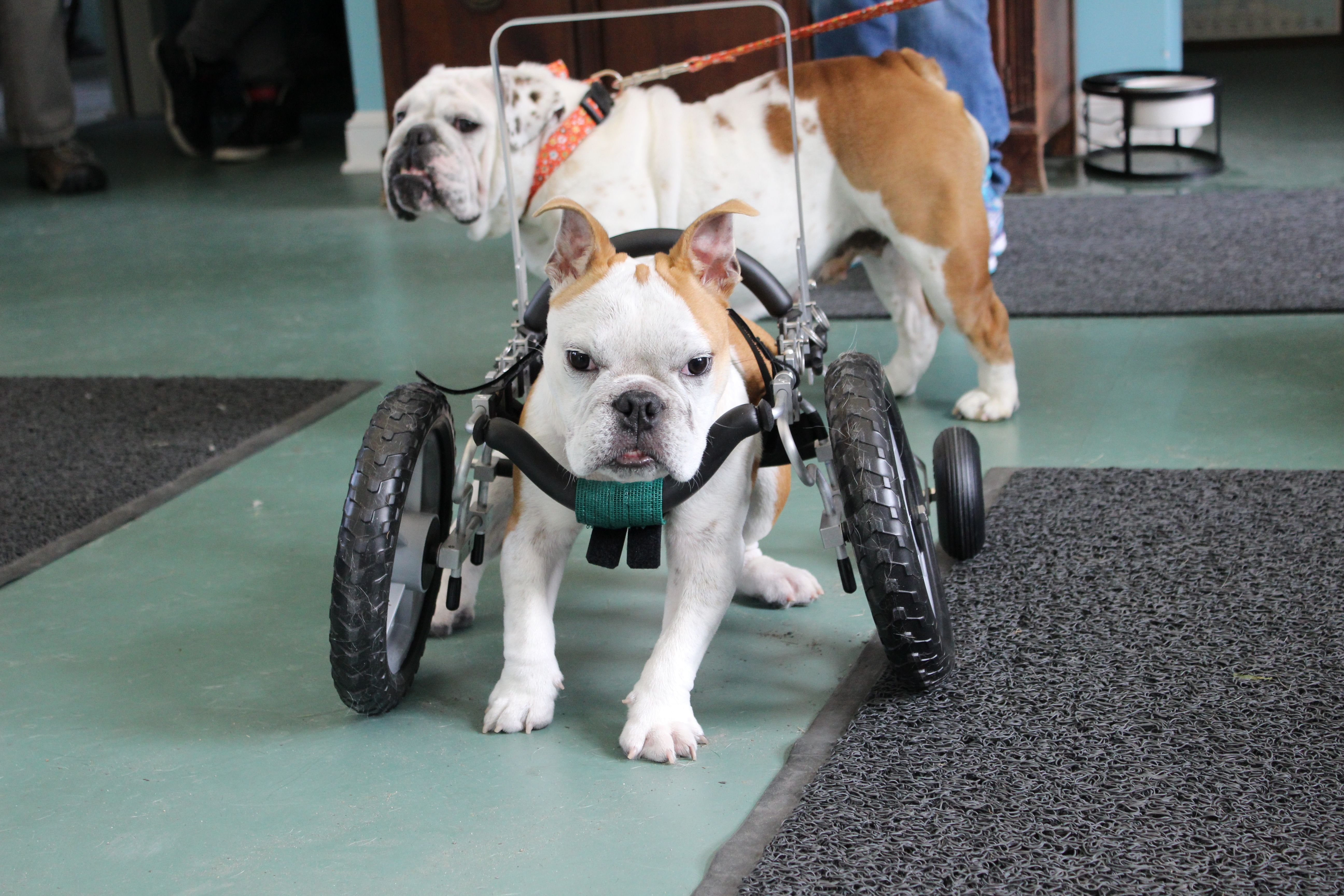 Chance The Special Needs Bulldog Stopped By To Pick Up His New