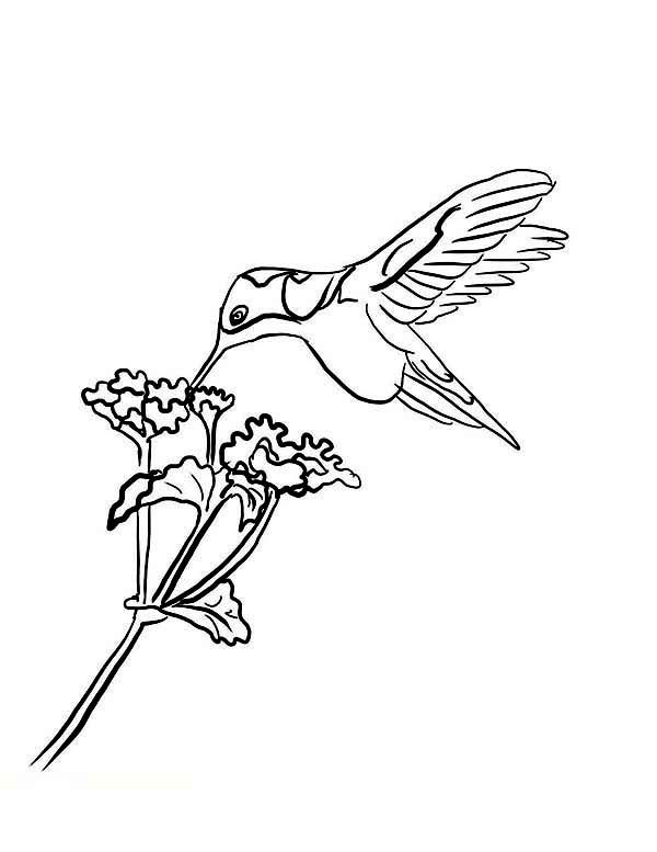 Hummingbirds Hummingbird Picture Free To Color Black Chinned Eat Nectar On Coloring Page Humming Bird Pattern