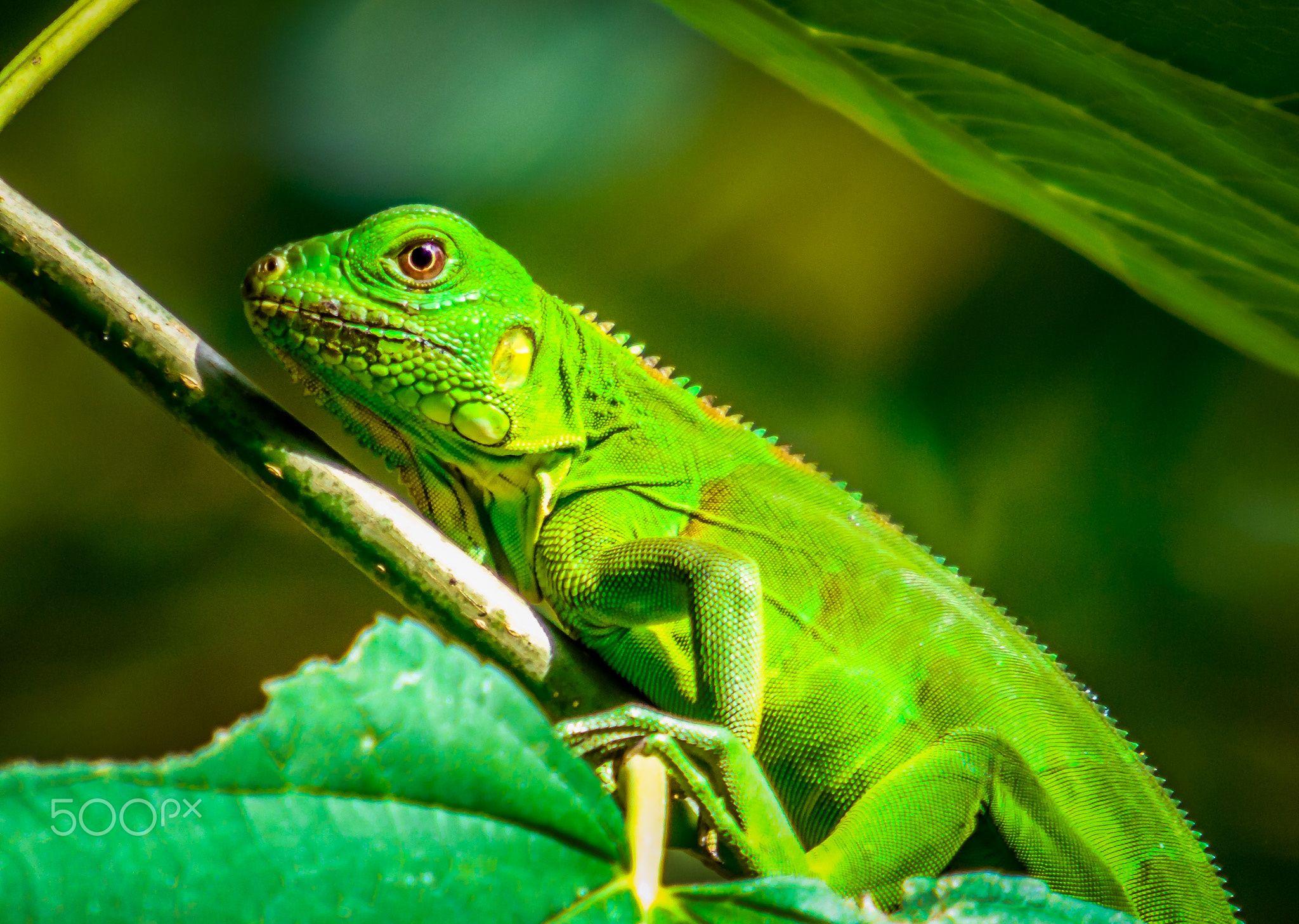 Iguana - Iguana iguana, popularmente conhecida como iguana-verde, iguana-comum, iguana, iguano, sinimbu, camaleão, cambaleão, cameleão, papa-vento, senembi, senembu ou tijibu, é uma espécie de réptil da família Iguanidae.