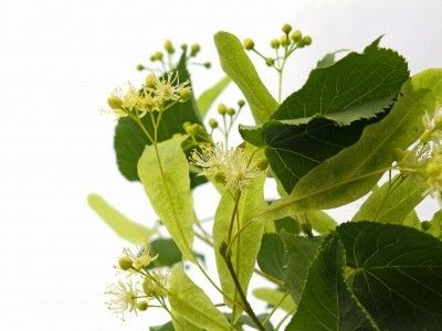 Linden leaves and flowers - A great lotion for dry skin - 1 tbs honey mixed with linden infusion. Wash face with it instead of water.