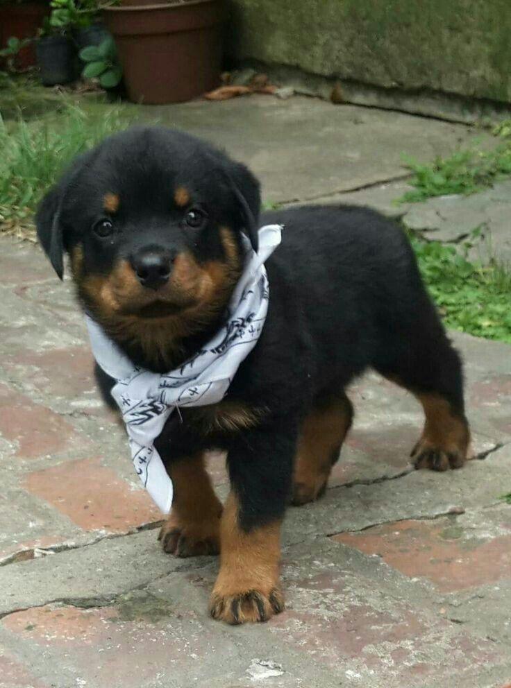 Pin By Natedog On Natedog26 Rottweiler Rottweiler Puppies Baby