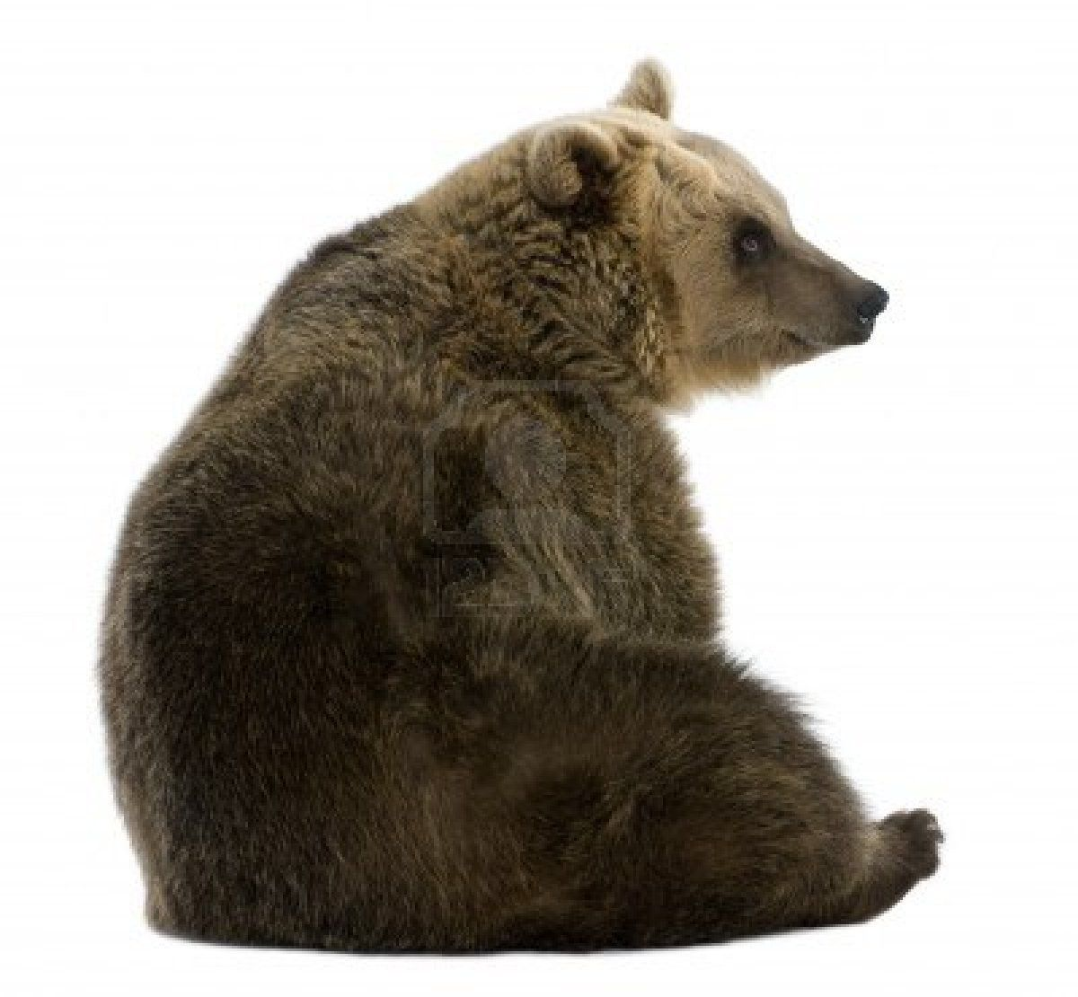 Female brown bear 8 years old sitting against white