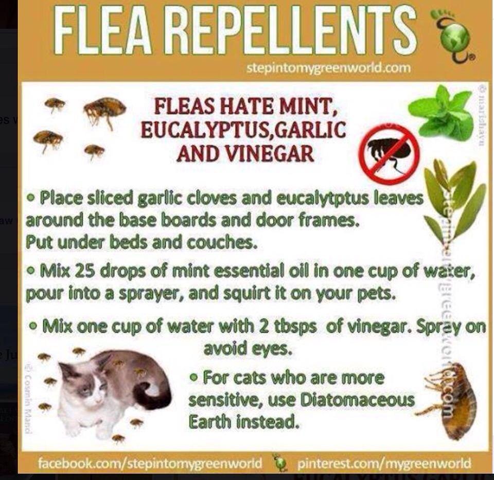 Natural Flea Remedies For Furniture Flea Repellent Flea Remedies Fleas
