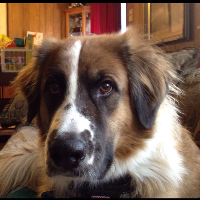 Fred St Bernard Great Pyrenees Mix Looks Like Our Dixie