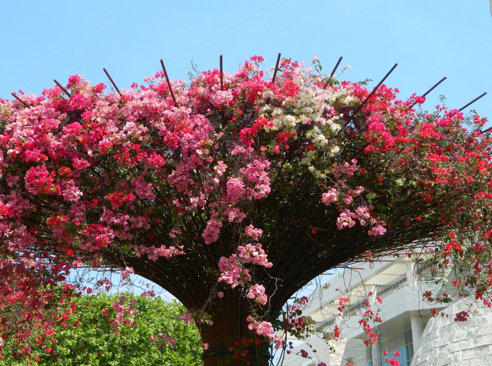 beauteous trees to plant near house. bougainvillea  the central garden at Getty Museum in LA