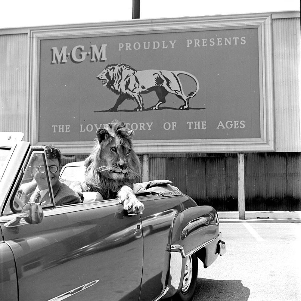 """From the July 1951 photo essay """"Fearless Fagan goes to Hollywood"""" - Fagan the Lion is pictured here enjoying a ride in the back seat at the MGM studio lot. (Loomis Dean—The LIFE Picture Collection/Getty Images) #wildLIFEwednesday #catsofinstagram"""