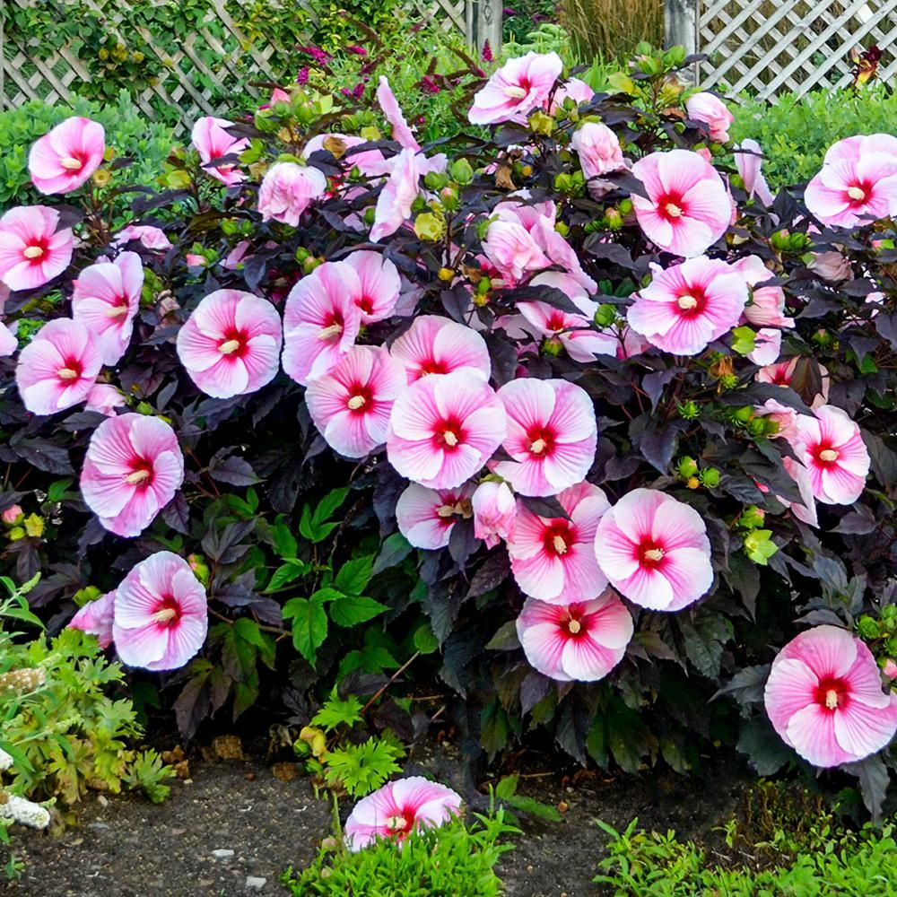 Spring Hill Nurseries Pink Flowers Starry Night Hibiscus Live Bareroot Perennial Plant 1 Pack 62455 The Home Depot Hibiscus Plant Part Shade Flowers Shade Flowers