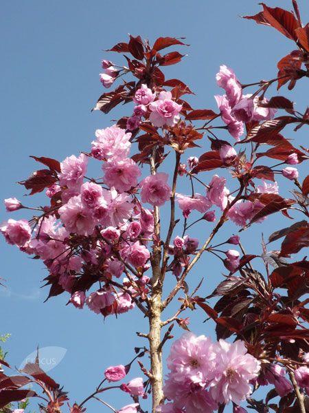 Prunus Royal Burgundy Japanese Flowering Cherry Flowering Cherry Tree Prunus Japanese Flowers