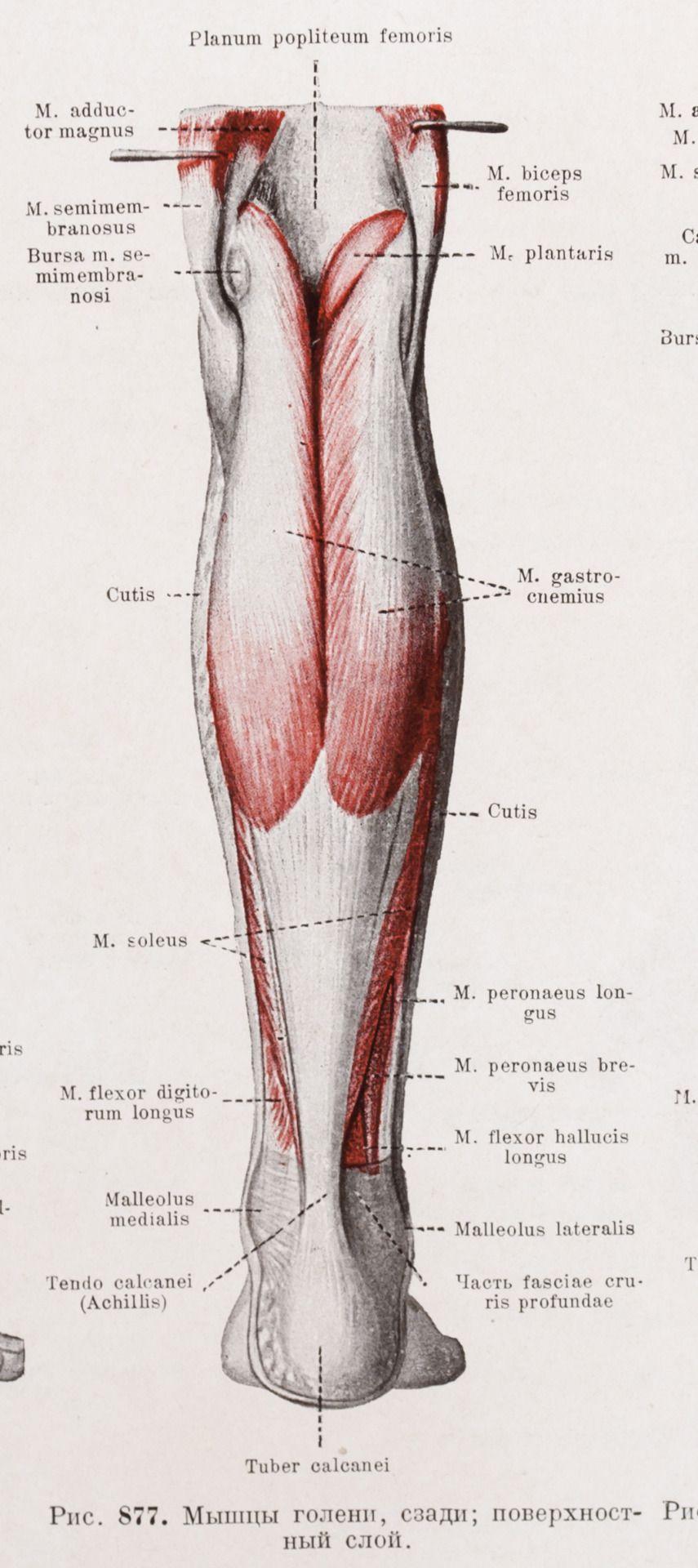 Рис. 877. Мышцы голени, сзади; поверхностный слой.Fig. 877. The ...